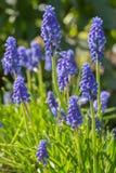 Blue grape hyacinth stock photography
