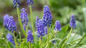 Blue grape hyacinth stock photos