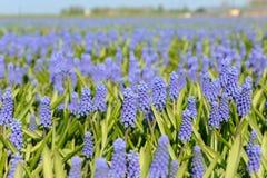 Blue grape hyacinths Stock Photo