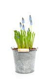 Blue grape hyacinths Royalty Free Stock Photos