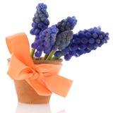 Blue grape Hyacinths Stock Photography