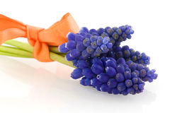 Blue grape Hyacinths Stock Photography