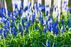 Blue grape hyacinths blooming in the garden under the sunlight. Royalty Free Stock Photography