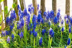 Blue grape hyacinths blooming in the garden under the sunlight. Royalty Free Stock Photo