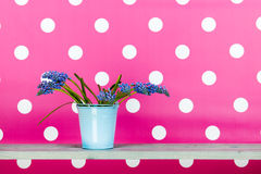 Blue grape hyacinths in blue bucket on pink Stock Image