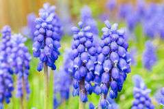 Blue grape hyacinths Stock Images