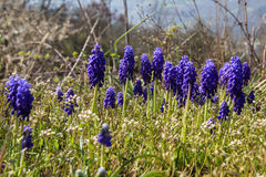 Blue grape hyacinths Royalty Free Stock Photos