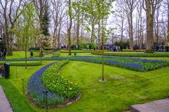 Blue grape hyacinths in Keukenhof park, Lisse, Holland, Netherlands. Stock Photography