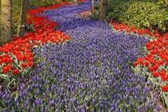 Blue Grape Hyacinths (Muscari) And Tulips Royalty Free Stock Image