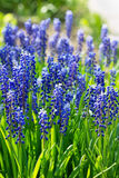 Blue grape hyacinths, muscari flowers Stock Photos