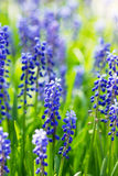 Blue grape hyacinths Stock Image
