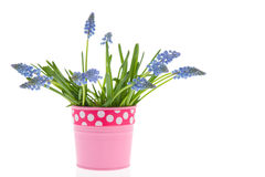 Blue grape hyacinths in pink vase Stock Images