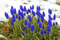 Blue grape hyacinths in the snow, muscari flowers Royalty Free Stock Images