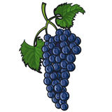 Blue grape Stock Photos