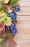 Blue grape Stock Photos