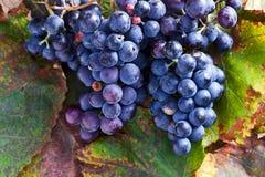 Blue grape Royalty Free Stock Photos
