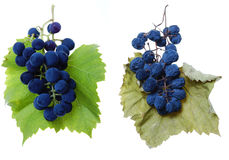 Blue grape and raisin cluster with leaves. Blue grape cluster with leaves and as raisin on leaf royalty free stock images