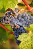 Blue grape at sunset in the vineyard Stock Photography