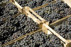 Blue grapes royalty free stock photo