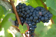 Blue grapes. Dark and juicy mellow grapes Stock Images