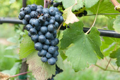 Blue grapes Stock Photos