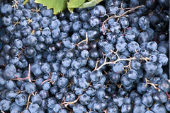 Blue grapes. Image of fresh blue grapes ready for wine preparation Royalty Free Stock Photos