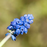 Blue Grapes. Looking into the buds of a grape hyacinth bloom stock image