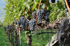 Blue Grapes. The pictures shows blue grapes in Italy, Alto Adige, Trentino Royalty Free Stock Photography