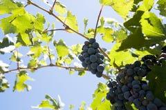 Blue grapes Royalty Free Stock Photos