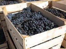 Blue grapes Stock Photos
