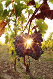 Blue grapes against sunset in vineyards Royalty Free Stock Images