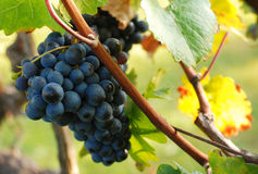 Blue grapes and autumn colors Royalty Free Stock Images