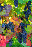 Blue grapes on autumnal vine stock Royalty Free Stock Images
