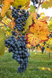 Blue grapes on autumnal vine stock Stock Image