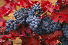 Blue grapes on a background of  autumn leaves. Stock Photography