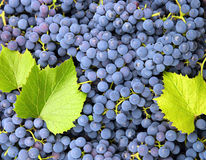 Blue grapes background Royalty Free Stock Image