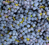 Blue grapes background Stock Image