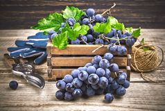 Blue grapes in box with willow and green leaf at old wooden board rustic style copyspace. Stock photo Royalty Free Stock Photo