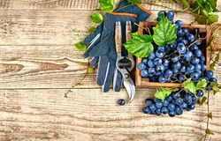 Blue grapes in box with willow green stock photography