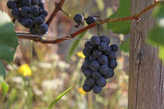 Blue grapes bunch Pinot Noir Slovenia Vipava. Bunch of blue grapes hanging on a branch with green leaves Stock Image