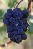 Blue grapes bunch Pinot Noir Slovenia Vipava. Bunch of blue grapes hanging on a branch with green leaves Royalty Free Stock Photos