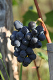 Blue grapes bunch Pinot Noir Slovenia Vipava valley. Bunch of blue grapes hanging on a branch with green leaves Royalty Free Stock Image
