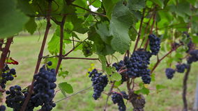 Blue grapes on a bush stock footage