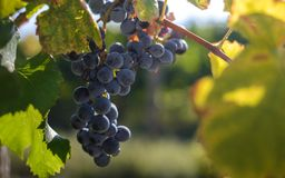 Blue grapes in the vineyard Royalty Free Stock Photography