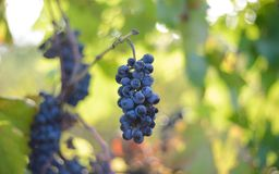 Blue grapes in the vineyard Royalty Free Stock Photos