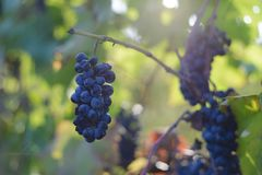 Blue grapes in the vineyard Stock Photo