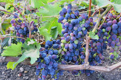 Blue grapes. Close-up in natural conditions Stock Photography