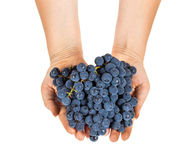 Blue grapes in female hands Royalty Free Stock Photos