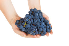 Blue grapes in female hands Stock Images