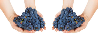Blue grapes in female hands Stock Photography
